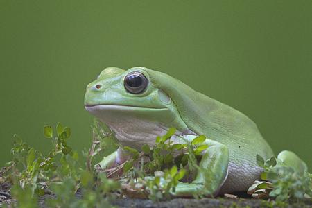 animals amphibious: Australian Green Tree Frog