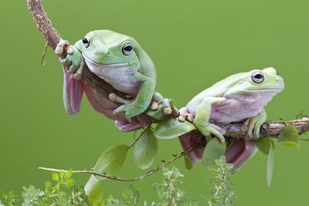 Australische groene boomkikker op takje