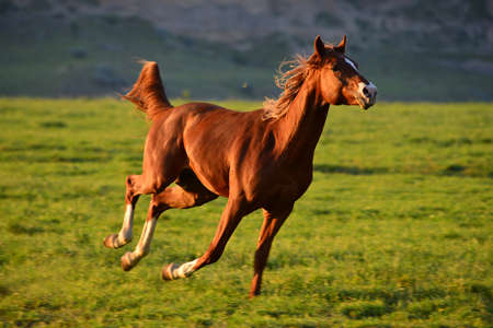 Chestnut Arabian Horse running gallop on pasture