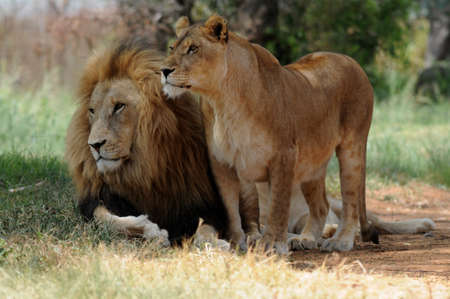 kruger national park: Lion and lioness sitting on grass, South Africa