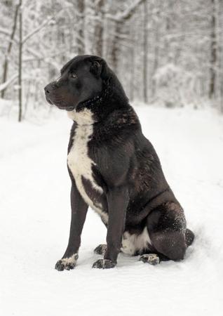 Caucasian Shepherd Dog puppies playing snow.
