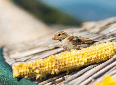 Bird eating corn on a sunny day Banque d'images