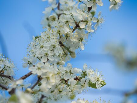 Blooming apple tree and its blooming flowers