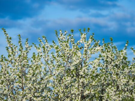 Blooming apple tree and its blooming flowers outdoors