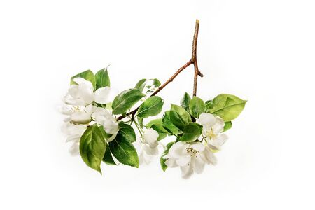 Blossoming branch of apple tree with leaves isolated on a white background.