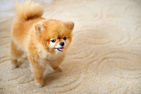 Pomeranian spitz close-up with highlighted focus. Little Pomeranian on a light background with copy space.