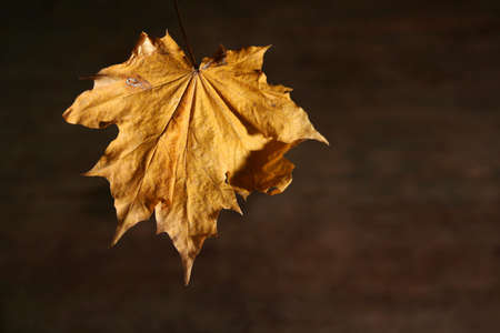 Colorful autumnal leaves on a dark brown background Stock Photo - 735437