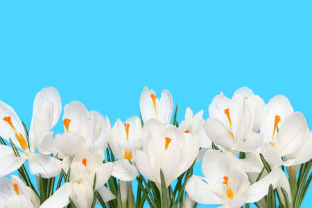 Beautiful white crocus on a blue background Stock Photo - 757033