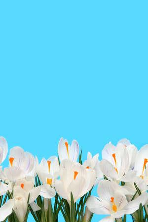 Beautiful white crocus on a blue background photo