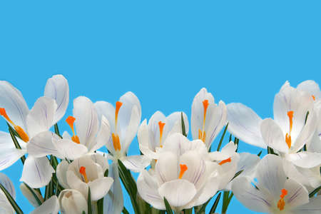 Beautiful white crocus on a blue background photo