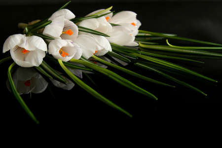 Beautiful white crocus on a black background Stock Photo - 764218