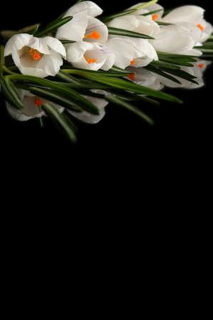 Beautiful white crocus on a black background photo