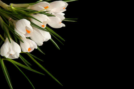 Beautiful white crocus on a black background photo
