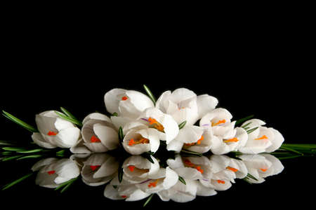 miror: Beautiful white crocus on a black background
