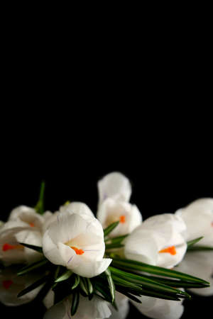 Beautiful white crocus on a black background Stock Photo - 764211