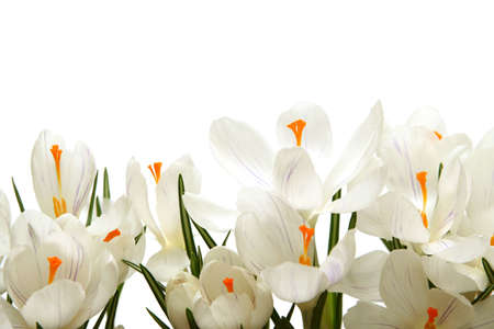 Beautiful white crocus on a white background Stock Photo - 764208