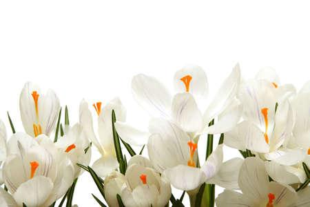 Beautiful white crocus on a white background Stock Photo - 764208