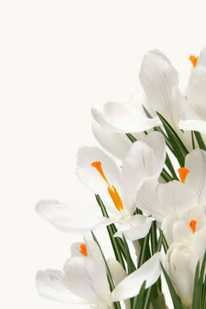 Beautiful white crocus on a white background Stock Photo - 764206