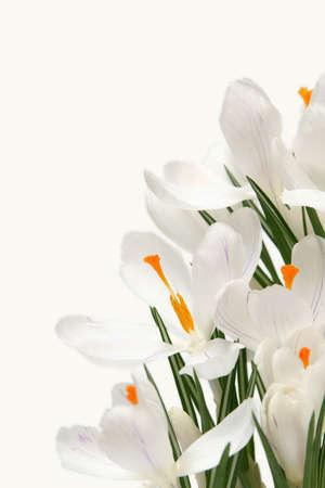 Beautiful white crocus on a white background Stock Photo - 764206