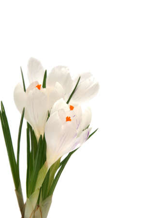 Beautiful white crocus on a white background Stock Photo - 764205