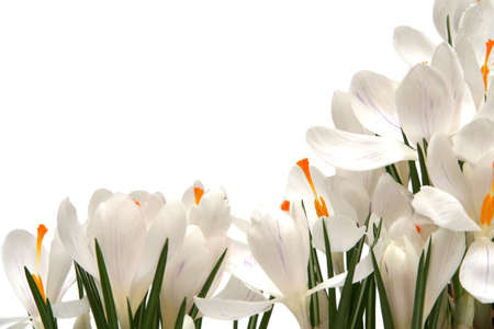 Beautiful white crocus on a white background Stock Photo - 764204