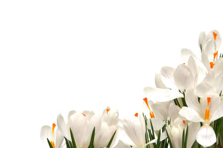 Beautiful white crocus on a white background Stock Photo - 764203