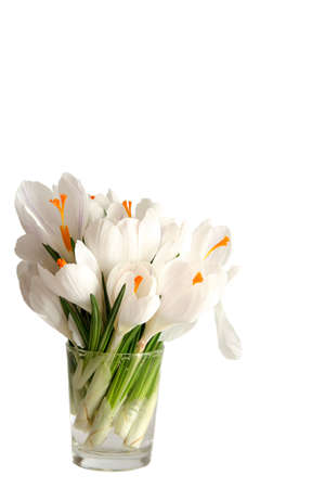 Beautiful white crocus on a white background Stock Photo - 764125