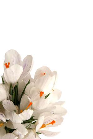 Beautiful white crocus on a white background photo