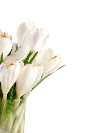 Beautiful white crocus on a white background Stock Photo - 764128