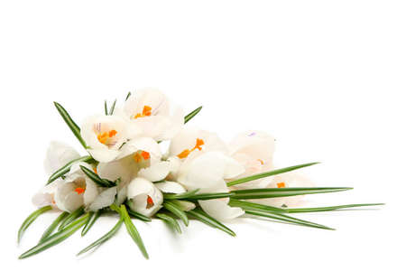 Beautiful white crocus on a white background Stock Photo - 764122