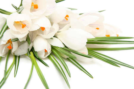 Beautiful white crocus on a white background Stock Photo - 764123