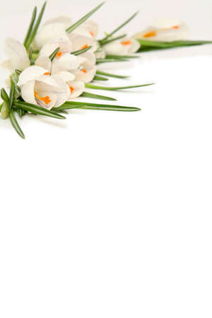 Beautiful white crocus on a white background Stock Photo - 764119