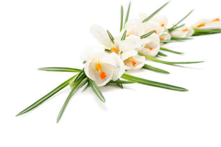 Beautiful white crocus on a white background Stock Photo - 764113