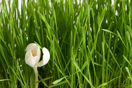 Beautiful white crocus on green grass background Stock Photo - 764114