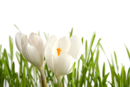Beautiful white crocus on a white background Stock Photo - 764116