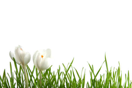Beautiful white crocus on a white background Stock Photo - 764111