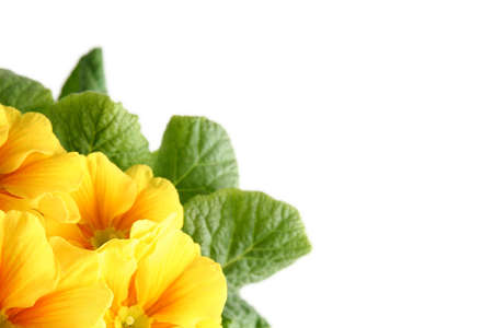 medizin: A yellow primrose on a white background