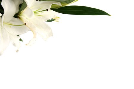 White esater lilies on a white background