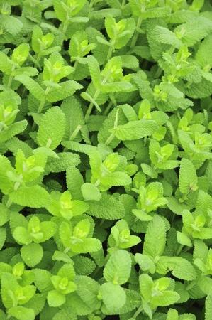 gregarious: apple mint