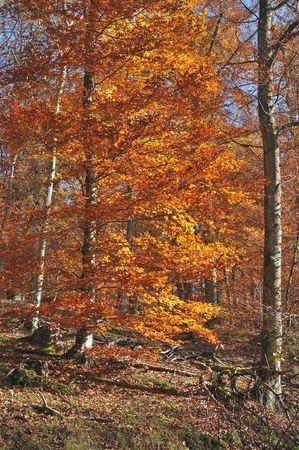 gorgeous autumnal tree, sieben muelen tal Stock Photo