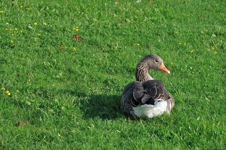 palmiped: duck at sunset #1, moritzburg