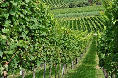 hilly: hilly vineyard #5, baden Stock Photo