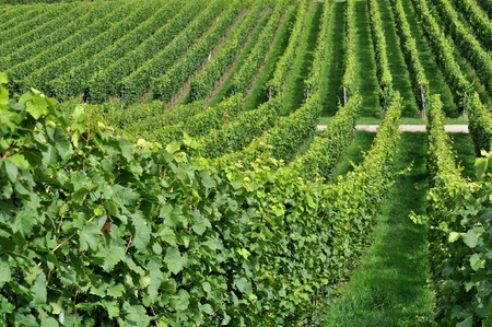 foreshortening: hilly vineyard #7, baden