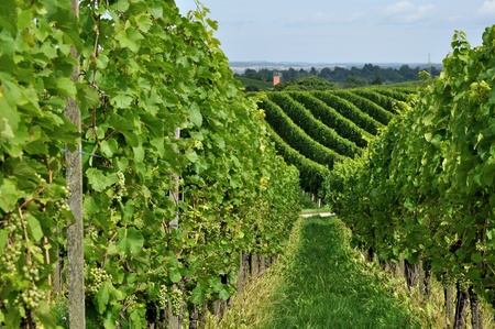 hilly: hilly vineyard #8, baden