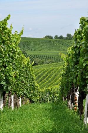 hilly vineyard #9, baden Stock Photo