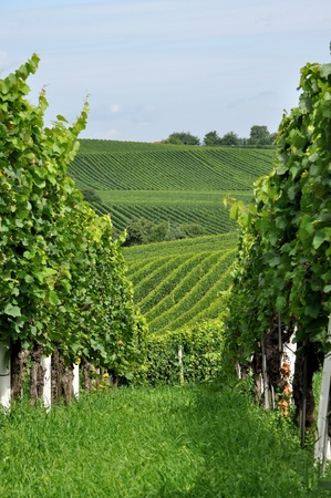 hilly: hilly vineyard #9, baden Stock Photo