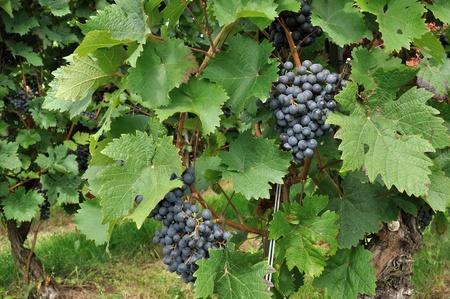 black grapes #2, baden Stock Photo