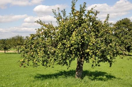 pommier arbre: arbres fruitiers en champ # 4, Bade Banque d'images