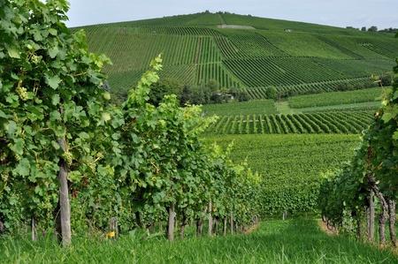 hilly vineyard #3, baden