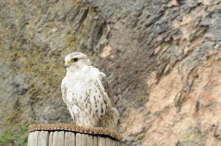 falconry: raptor at falconry show #1 Stock Photo